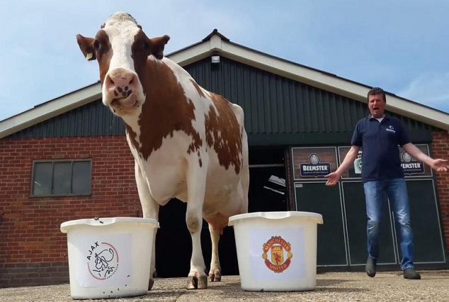 Unbelievable ! Psychic Cow Predicts Manchester Utd Will Lose Europa Final To Ajax 5